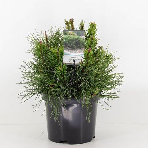 Pinus mugo pumilio (Bremmer Boomkwekerijen)