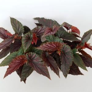 Begonia 'Polka Dot Pink' (Amstelzicht BV)