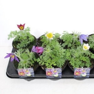Pulsatilla vulgaris MIX