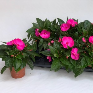 Impatiens ROLLERCOASTER HOT PINK