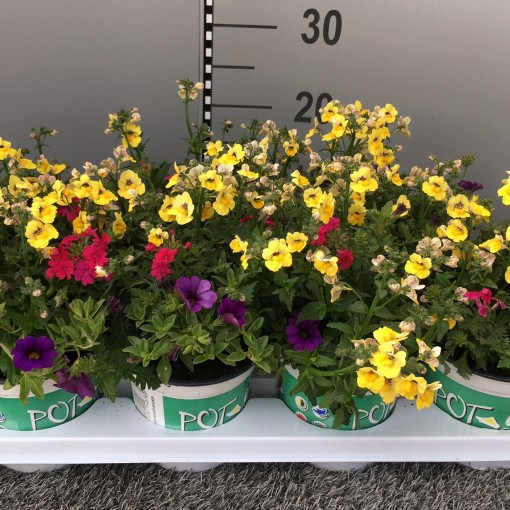 Bedding plants MIX IN POT (Experts in Green)