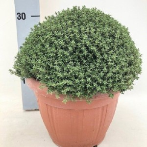 Thymus vulgaris 'Faustini'