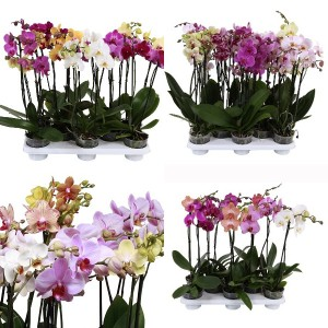 FA Phalaenopsis SELECTION #198