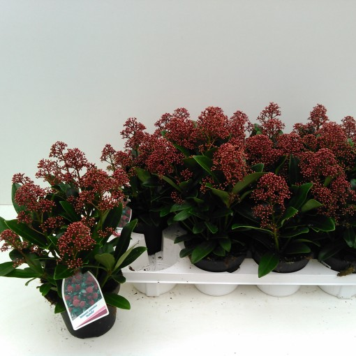 Skimmia japonica 'Rubella' (Experts in Green)