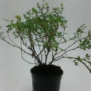 Potentilla fruticosa 'Abbotswood' (WTM de Boer)