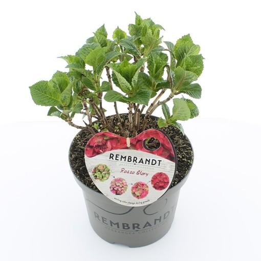 Hydrangea macrophylla REMBRANDT ROSSO GLORY (De Jong Plant BV)