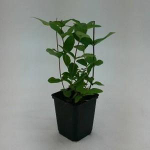 Hypericum x inodorum 'Elstead' (WTM de Boer)