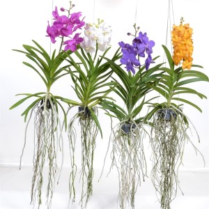 Vanda MIX (Anco Pure Vanda)