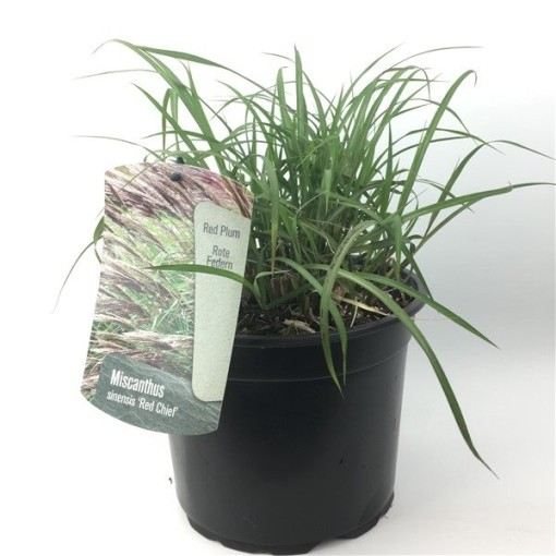 Miscanthus sinensis 'Red Chief' (Oprins Plant)