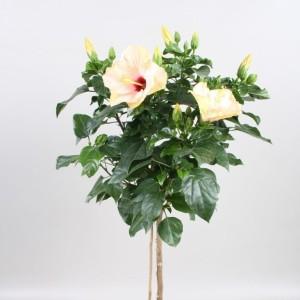 Hibiscus rosa-sinensis SUNNY VENETIE WHITE