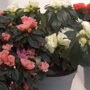 Rhododendron AIKO MIX