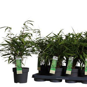 Fargesia rufa (Hoogeveen Plants)