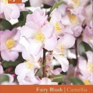 Camellia sasanqua 'Fairy Blush' (Snepvangers Tuinplanten BV)