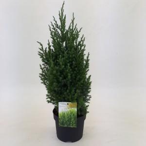 Juniperus chinensis 'Stricta' (Dool Botanic)