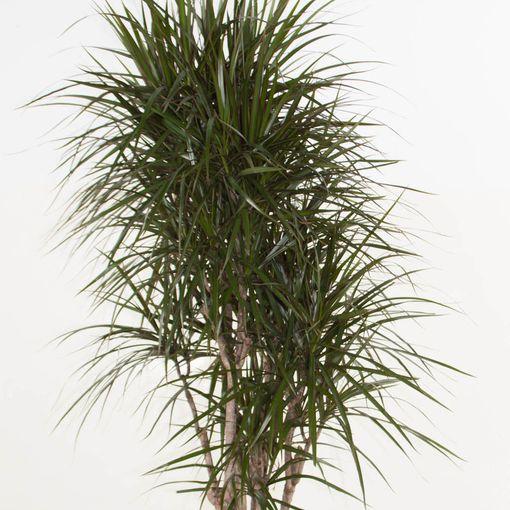 Dracaena marginata (Ammerlaan, The Green Innovater)