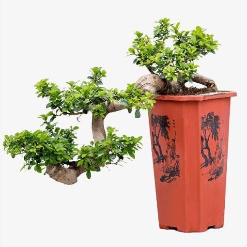 Ficus microcarpa 'Compacta' (Nieuwkoop Europe B.V.)