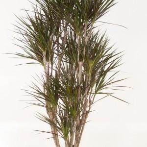 Dracaena marginata (Ammerlaan )