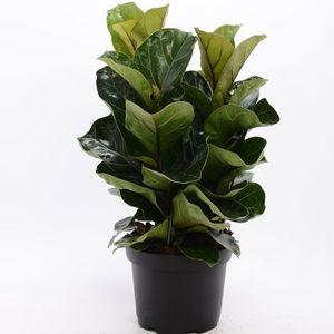 Ficus lyrata 'Bambino'