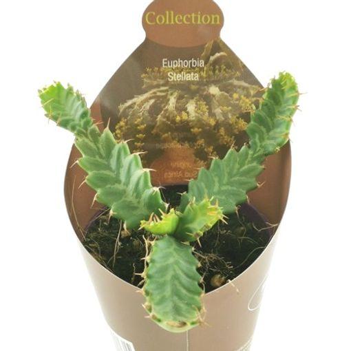 Euphorbia stellata (Giromagi)