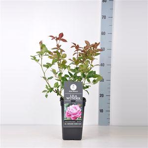 Rosa 'Lila Wunder' (Lakei Boomkwekerijen)
