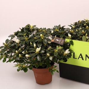 Rhododendron LEONARDO (FlorAmor)
