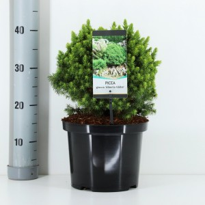 Picea glauca 'Alberta Globe' (Bremmer Boomkwekerijen)