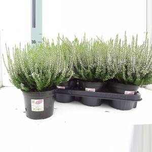 Calluna vulgaris GARDEN GIRLS ALICIA