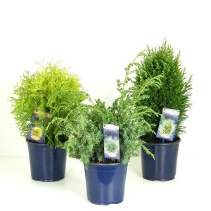 Conifers MIX