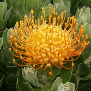 Leucospermum cordifolium 'Carnival Copper'