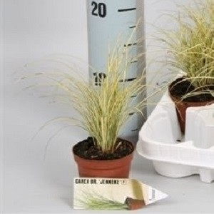 Carex brunnea 'Jenneke' (Handelskwekerij van der Velden)