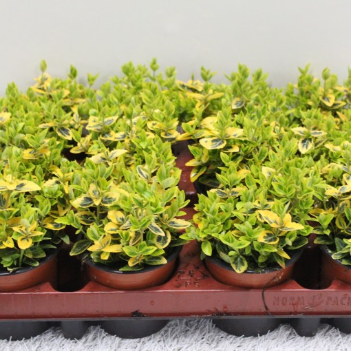 Euonymus fortunei 'Emerald 'n' Gold' (Experts in Green)