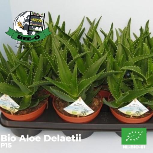 Aloe x delaetii (Bee-O)