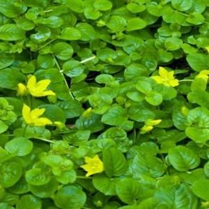 Lysimachia nummularia (van der Velde Waterplanten BV)