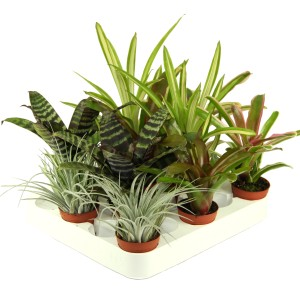 Bromelia MIX (Ammerlaan, The Green Innovater)