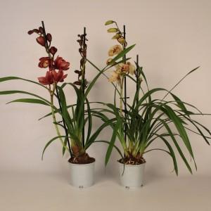 Cymbidium MIX (Lansbergen Orchideeën)