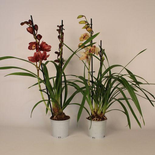 Cymbidium MIX (Lansbergen Orchids)