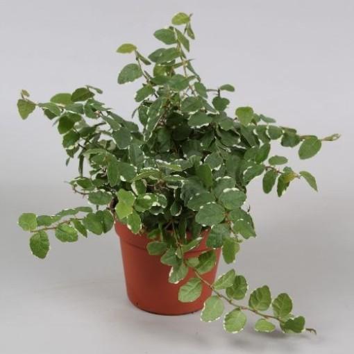 Ficus pumila 'White Sunny' (Vireõ Plant Sales)