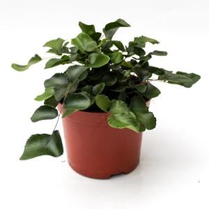 Pellaea rotundifolia
