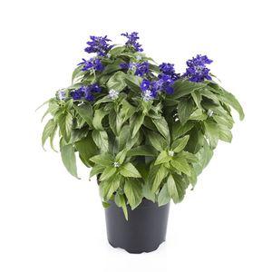 Salvia farinacea 'Blue Sapphire'