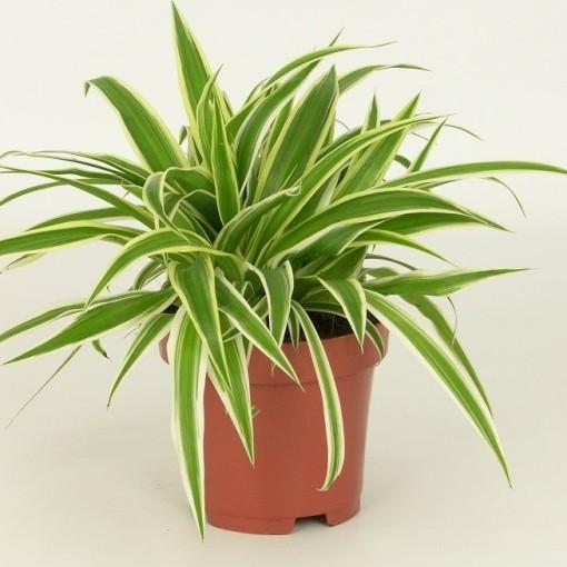 Chlorophytum comosum 'Variegatum' (Elstgeest)