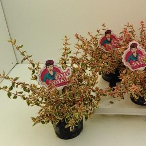 Abelia x grandiflora PINK LADY