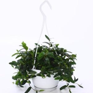 Ficus punctata 'Anouk'