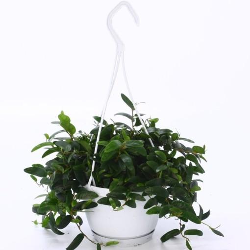 Ficus punctata 'Anouk' (Bunnik Plants)
