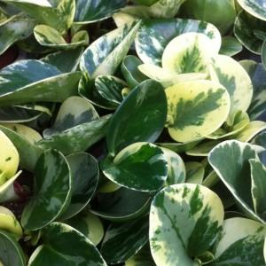 Peperomia obtusifolia 'Marble' (Vireo Plant Sales)