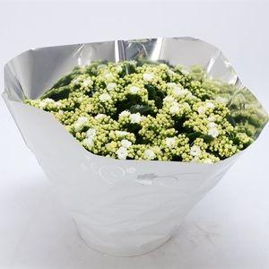 Kalanchoe blossfeldiana PERFECTA WHITE