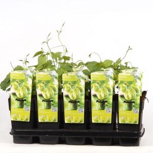 Humulus lupulus 'Nordbrau' (Hoogeveen Plants)
