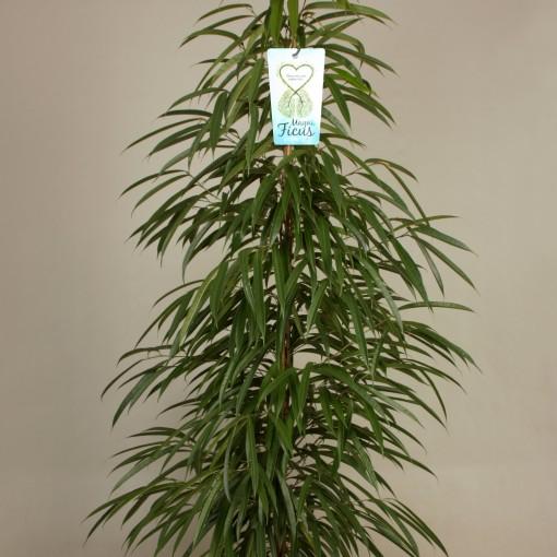 Ficus binnendijkii 'Alii' (Kwekerij de Schenkel)