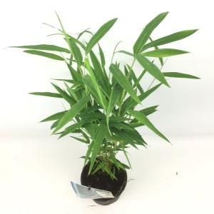 Fargesia 'Blue Dragon' (Oprins Plant)