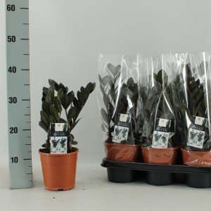 Zamioculcas zamiifolia RAVEN