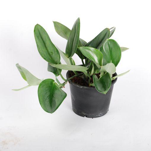 Scindapsus treubii (Van der Arend Tropical Plantcenter)